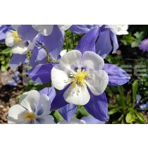 Aquilegia caerulea Spring Magic Navy and White - kék/fehér