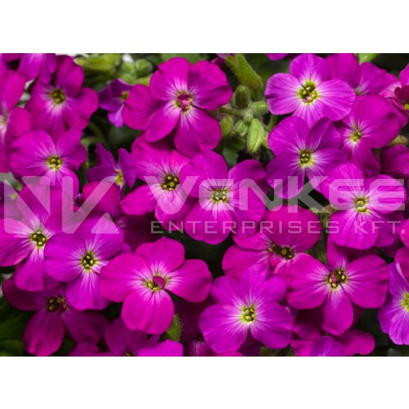 Aubrieta Axcent Lilac Improved - lila