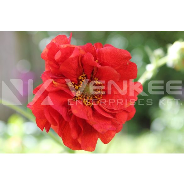 Geum rivale Flames of Passion - piros