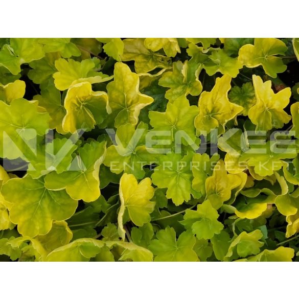 Heuchera Northern Exposure Lime